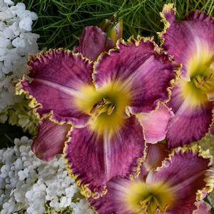 "Hemerocallis Raspberry Eclipse - 8"" Jumbo Pot (Perennial) - NEW ARRIVAL"