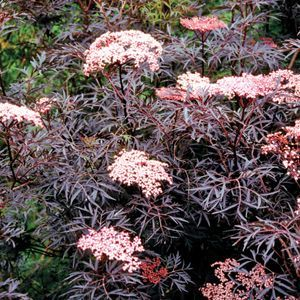 Sambucus Black Lace - QT Pot (Shrub)