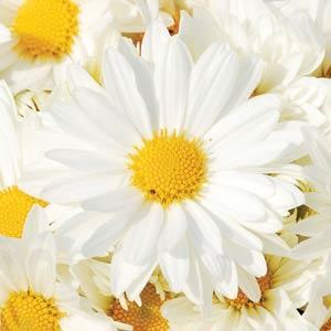 Garden Mum Sparkle White - QT Pot (Annual)