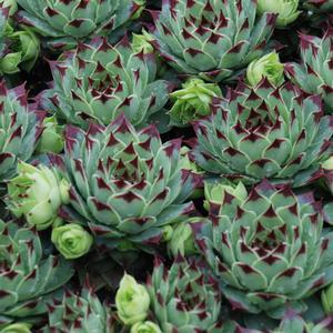 "Sempervivum Mint Marvel - 3.5"" Pot (Succulent/Perennial)"