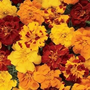 Tagetes Durango Outback - Mix 16 Pack Tray (Annual)