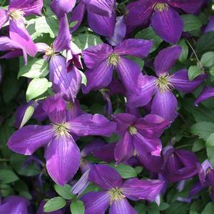 "Clematis Happy Jack Purple - 8"" Jumbo Pot (Perennial)"