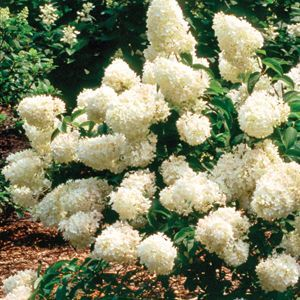Hydrangea Little Lamb - QT Pot (Shrub)