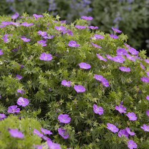 "Geranium New Hampshire Purple - 5"" Pot (Perennial)"