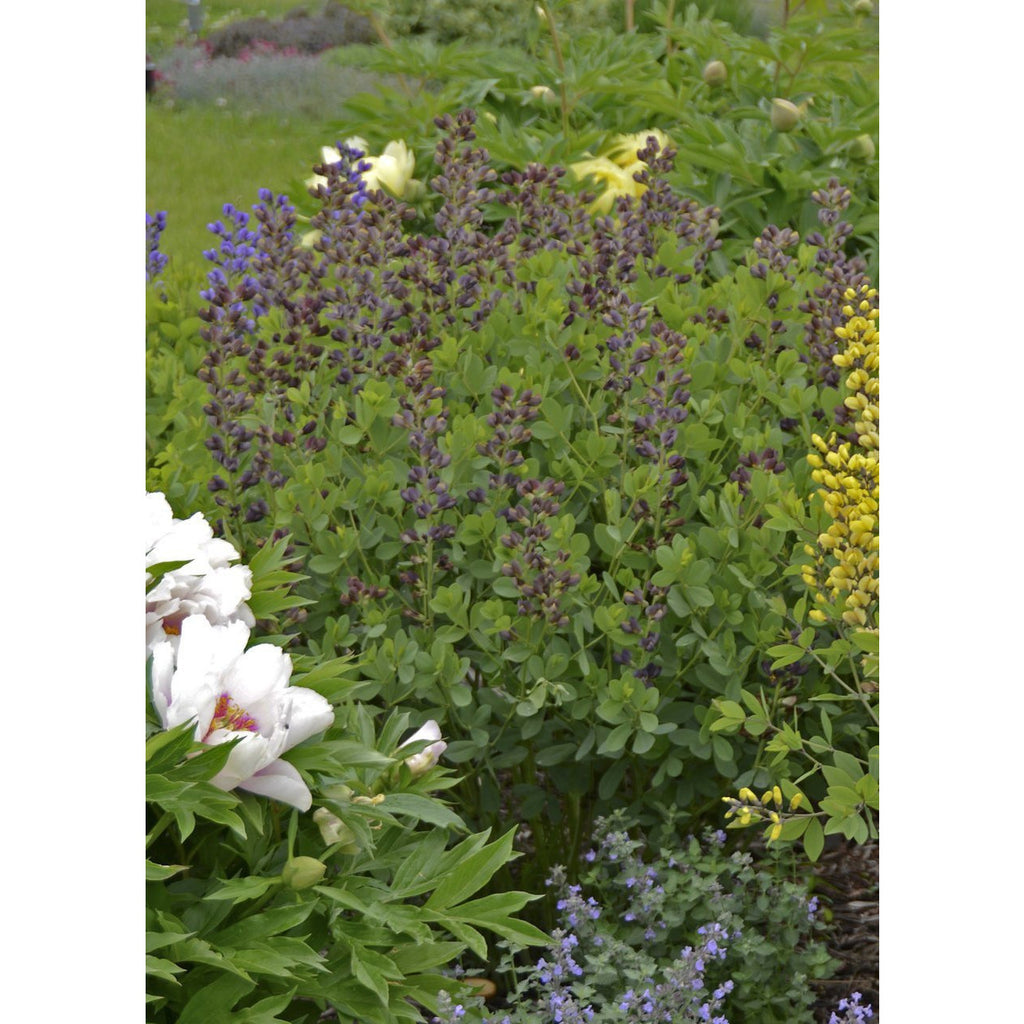 "Baptisia Decadence Dutch Chocolate - 8"" Jumbo Pot (Perennial)"