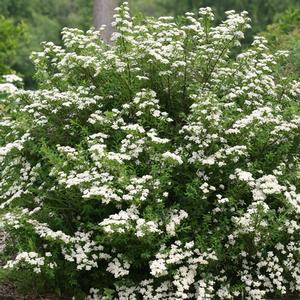 "Spiraea Wedding Cake - 8"" Jumbo Pot (Shrub)"