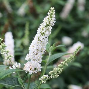 Buddleia Miss Pearl - QT Pot (Shrub)