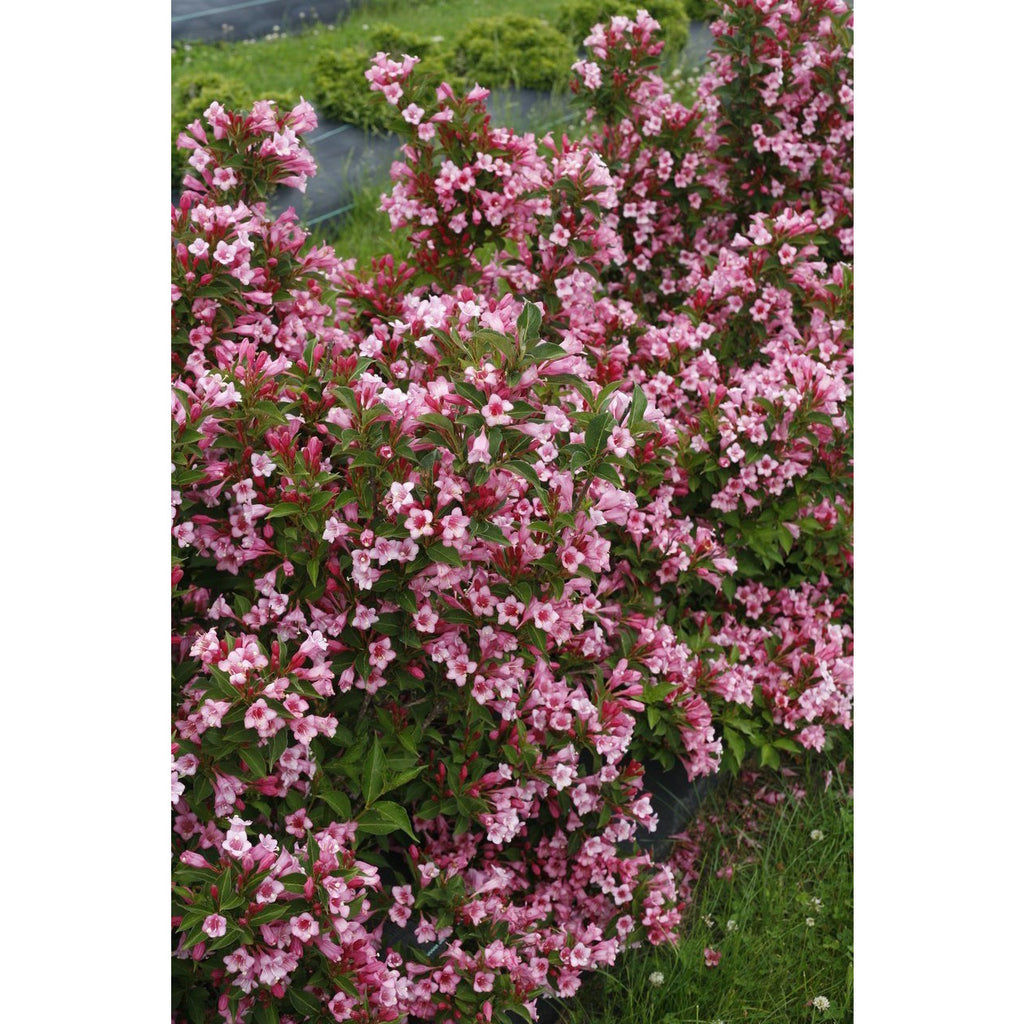 Weigela Czechmark Twopink - QT Pot (Shrub)