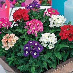 Verbena Tuscany Mix - 16 Pack Tray (Annual)
