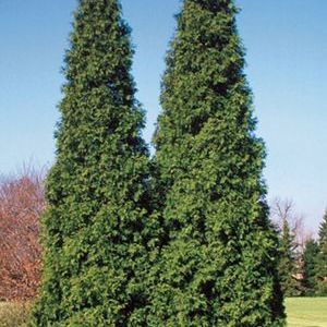 Thuja Spring Grove - QT Pot (Shrub)
