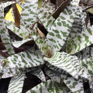 "Ledebouria socialis - 3.5"" Pot (Annual) - NEW ARRIVAL"
