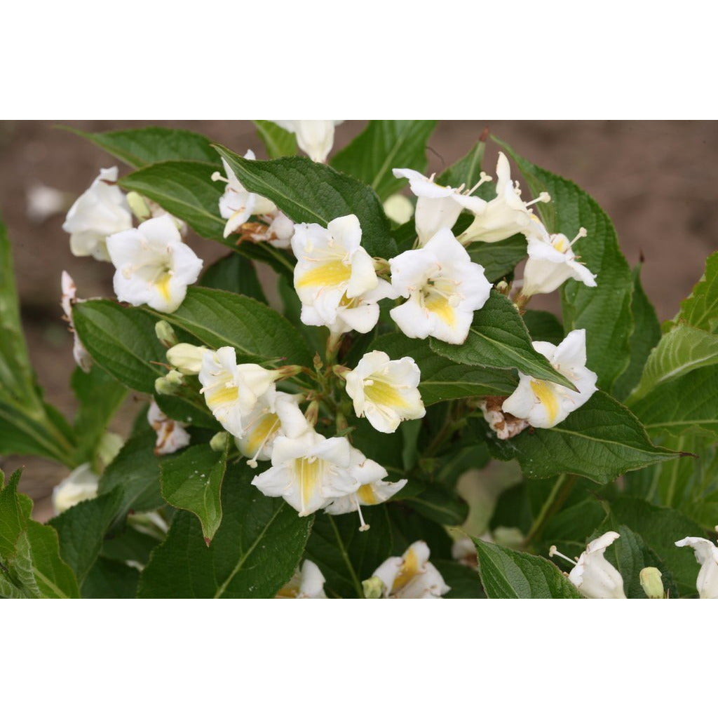 "Weigela Czechmark Sunny Side Up - 8"" Jumbo Pot (Shrub)"