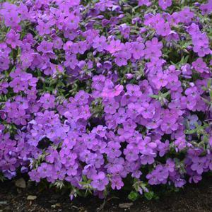 Phlox Purple Sprite - Quart Pot (Perennial) - NEW ARRIVAL