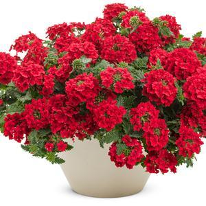 "Verbena Superbena Red - 4 1/2"" Pot (Annual) - NEW ARRIVAL"