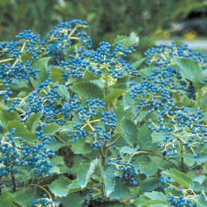 Viburnum Blue Muffin - QT Pot (Shrub)
