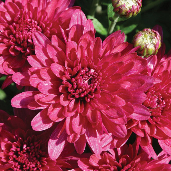 Garden Mum Wanda Purple - QT Pot (Annual)