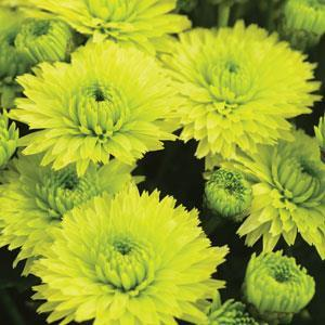 Garden Mum Key Lime - QT Pot (Annual)