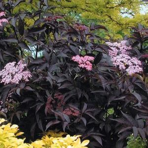 "Sambucus Black Beauty - 8"" Jumbo Pot (Shrub)"