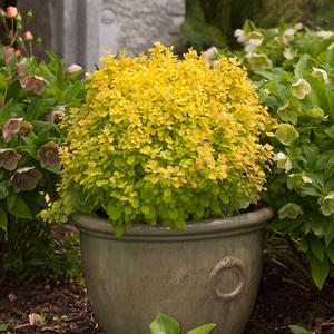 Berberis Sunjoy Gold Beret - QT Pot (Shrub)
