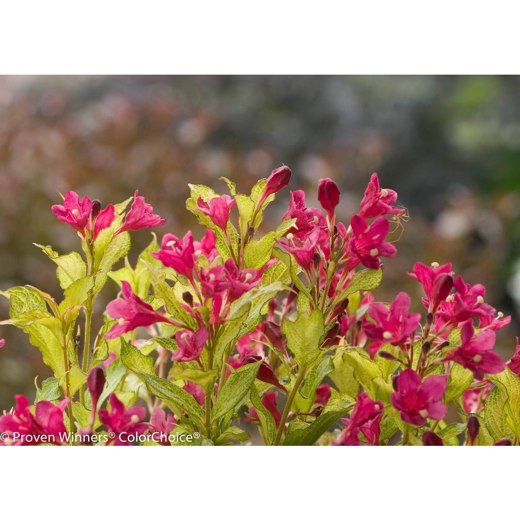 "Weigela Ghost - 8"" Jumbo Pot (Shrub)"