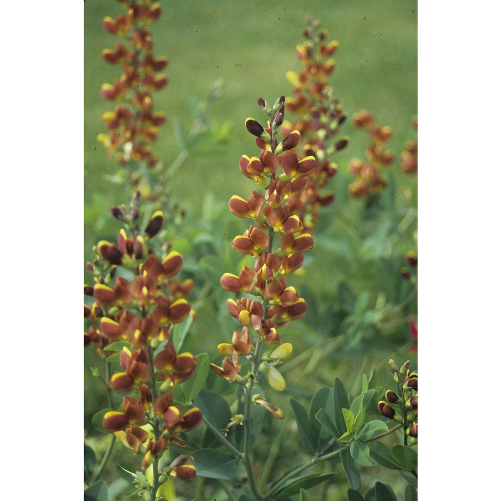 Baptisia Decadence Cherries Jubilee - QT Pot (Perennial) - Shipping Starts Mid June