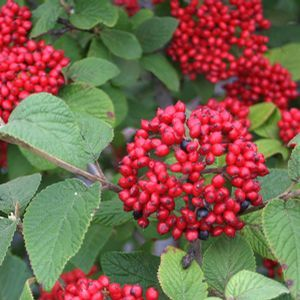 "Viburnum Red Balloon - 8"" Jumbo Pot (Shrub)"