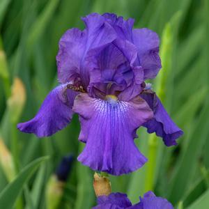 "Iris His Royal Highness - 5"" Pot (Perennial) - NEW ARRIVAL"