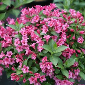 Weigela Snippet Dark Pink - QT Pot (Shrub)