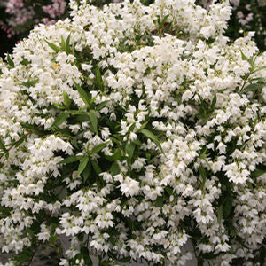 "Deutzia Yuki Snowflake - 8"" Jumbo Pot (Shrub)"