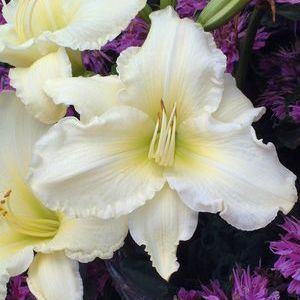 "Hemerocallis Sunday Gloves - 5"" Pot (Perennial)"
