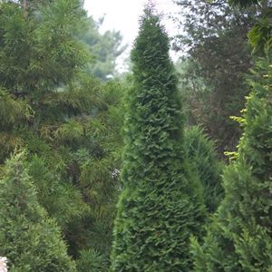 "Thuja North Pole - 8"" Jumbo Pot (Shrub)"