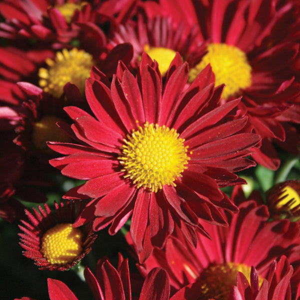 Garden Mum Edana Red - QT Pot (Annual)
