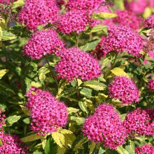 "Spiraea Double Play Painted Lady - 8"" Jumbo Pot (Shrub)"