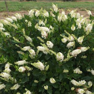 Clethra Sugartina - QT Pot (Shrub)
