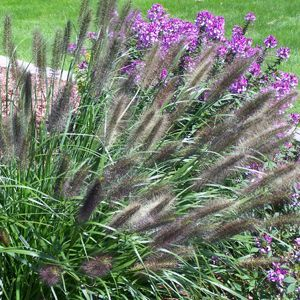 "Pennisetum Red Head - 5"" Pot (Perennial)"