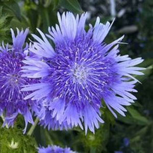 "Stokesia Peachies Pick - 5"" Pot (Perennial)"