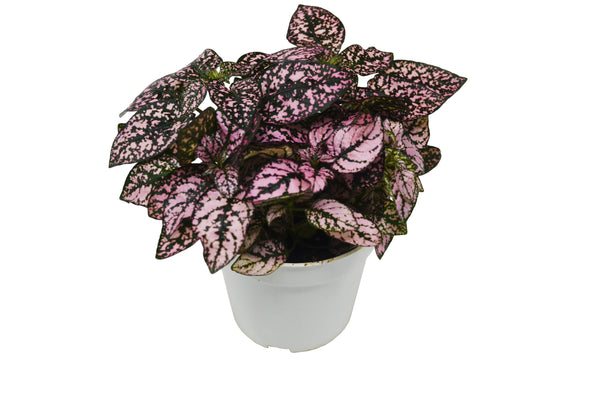 "Hypoestes 'Pink' (Polka Dot Plant) / 4"" Pot / Live Plant / House Plant / FREE Care Guide"