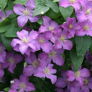 Clematis Jolly Good - QT Pot (Perennial)