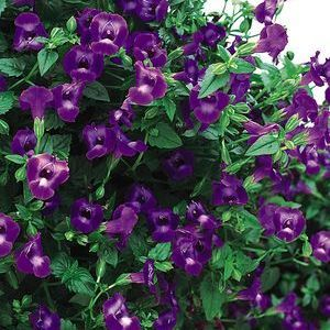 "Torenia Summer Wave Large Violet - 4 1/2"" Pot (Annual)"