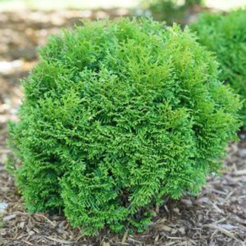 "Thuja Tiny Tot - 8"" Jumbo Pot (Shrub)"