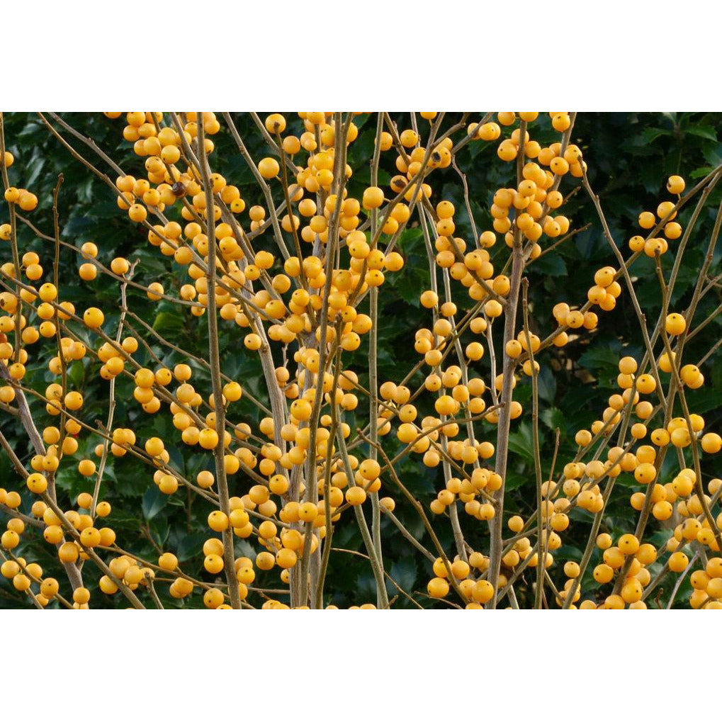 Ilex Berry Heavy Gold - QT Pot (Shrub)