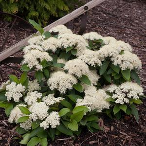 Viburnum Lil Ditty - QT Pot (Shrub)