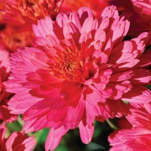 Garden Mum Flamingo Pink - QT Pot (Annual)