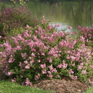 "Syringa Scent And Sensibility - 8"" Jumbo Pot (Shrub)"