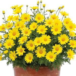 "Argyranthemum Golden Butterfly - 4 1/2"" Pot (Annual)"
