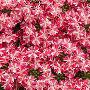 "Verbena Superbena Royale Cherryburst - 4 1/2"" Pot (Annual)"