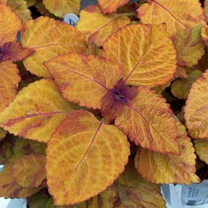 "Solenostemon ColorBlaze Sedona - 4 1/2"" Pot (Annual)"