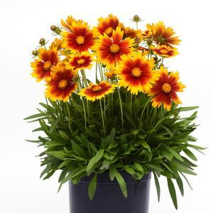Coreopsis Uptick Gold and Bronze - QT Pot (Perennial)