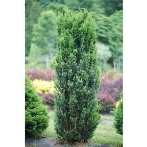 Taxus Stonehenge - Quart Pot (Shrub) - NEW ARRIVAL