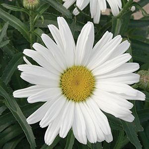 "Leucanthemum Daisy May - 8"" Jumbo Pot (Perennial)"